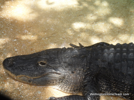 Busch Wildlife Sanctuary Gator