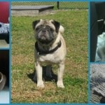 The Compassionate Pug Rescue: Looking to Adopt a Pug in South Florida?