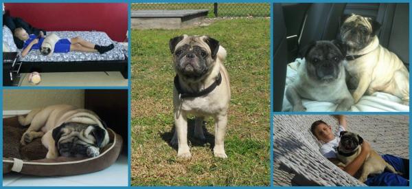 Compassionate Pug Rescue South Florida - Dexter Two
