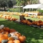 Wellington Florida Pumpkin Patches 2015 | Where to Buy a Pumpkin